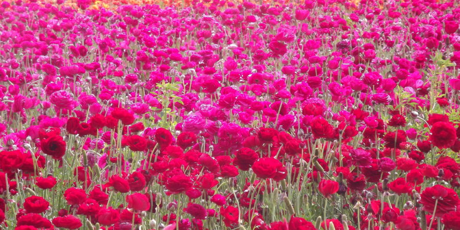 Flower power the flower fields at carlsbad ranch pics trips carlsbad flower fields mightylinksfo
